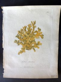 Woodville Medical Botany 1790's Hand Col Print. Lichen Islandicus. Iceland Moss